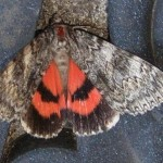 2 Catocala (red underwinged) moth