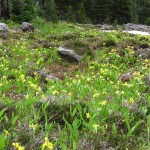 2 Glacier Lily and Heather, Shadow Lake area