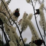 4 Red Admirals on Black Bugbane, Scottish Borders