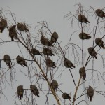 5 Bohemian Waxwings on Weeping Birch