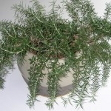 Rosemary in pot 005